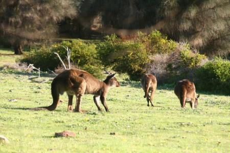 ツアーじゃ行けないオーストラリアのマニアック観光10選(シドニー編)_Kangaroo Island
