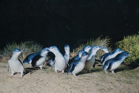 ツアーじゃ行けないオーストラリアのマニアック観光10選(シドニー編)_Phillip_Island