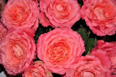 ベルギーのバレンタインデーはどんな感じ?6つのおもしろ豆知識!バラ